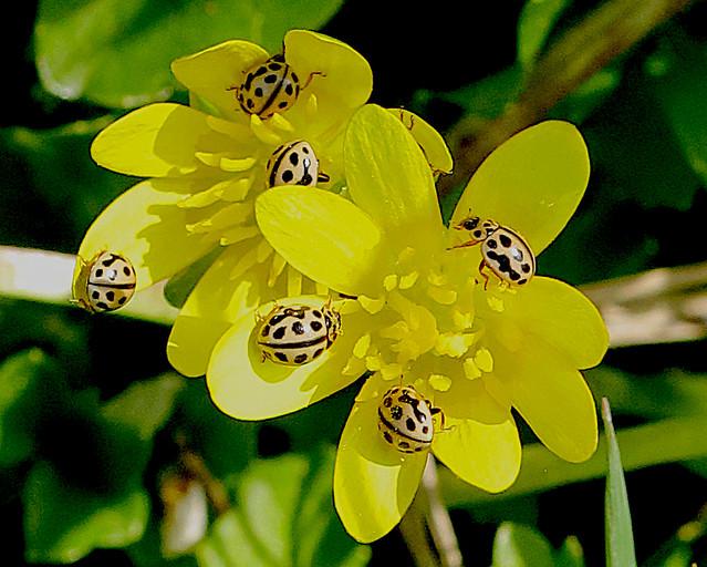 Lesser Celandine and yellow ladybirds !
