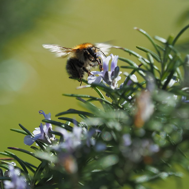 At work for honey with rosemary flavour