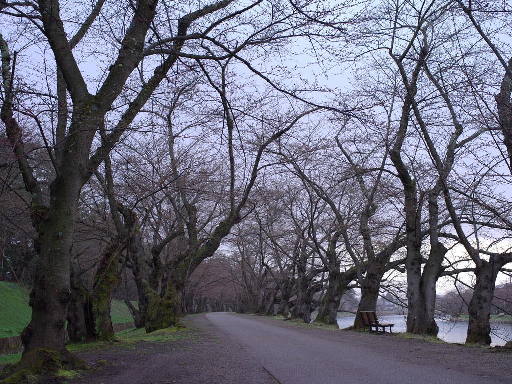 桜のトンネル未開花