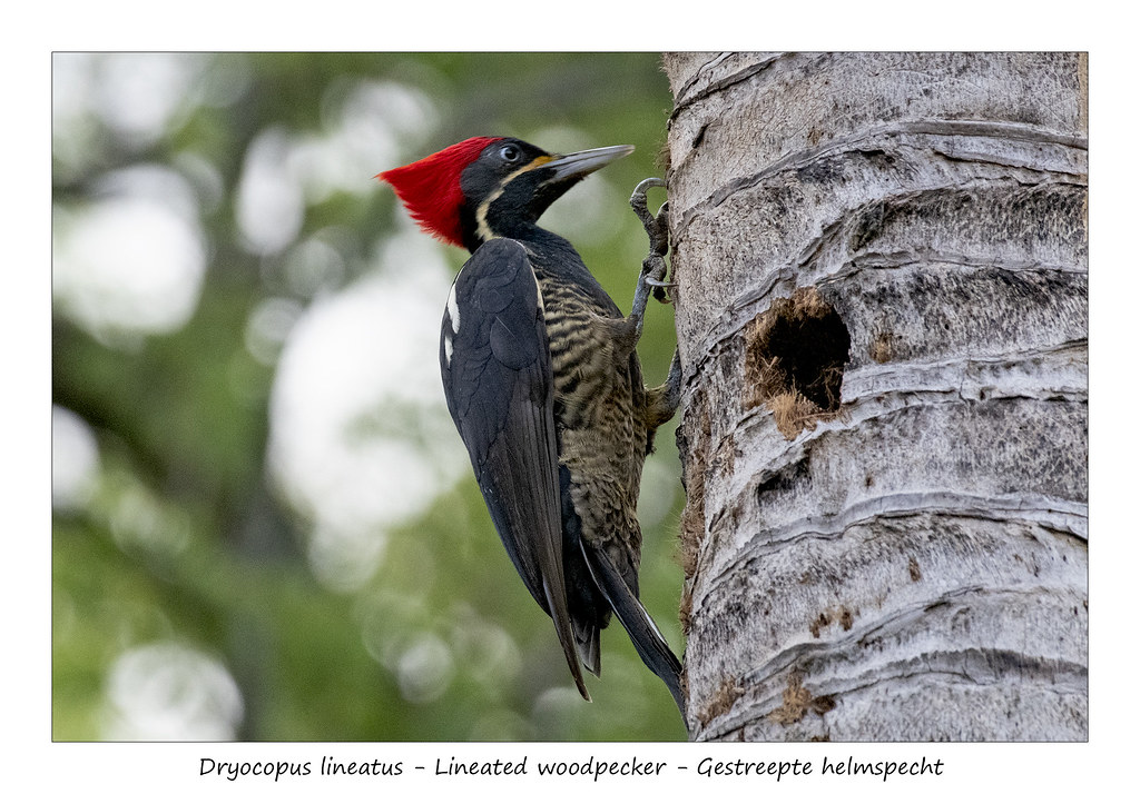 Lineated woodpecker #1