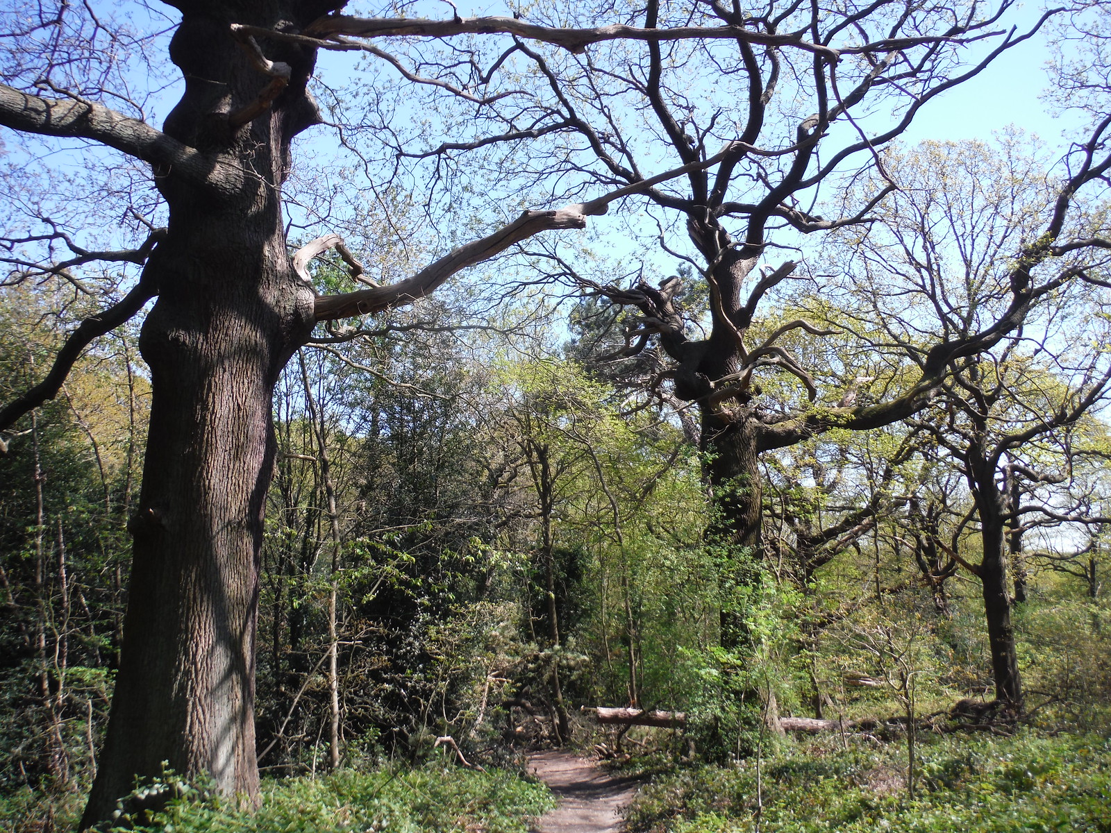 Jack Wood SWC Short Walk 44 - Oxleas Wood and Shooters Hill (Falconwood Circular)