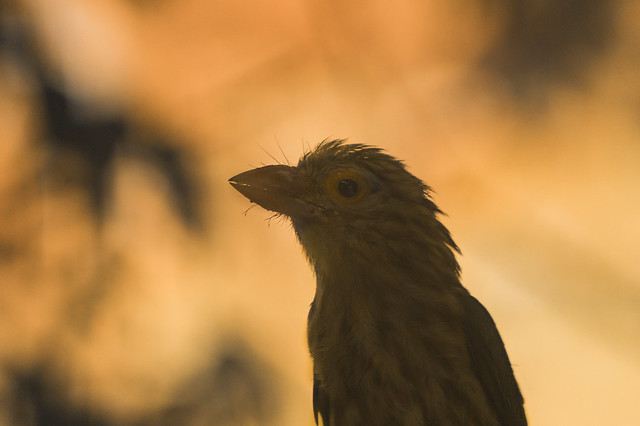 Linated Barbet