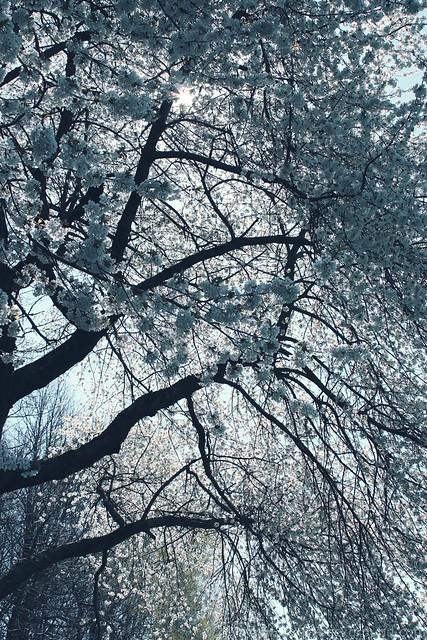 Blooming wild cherry