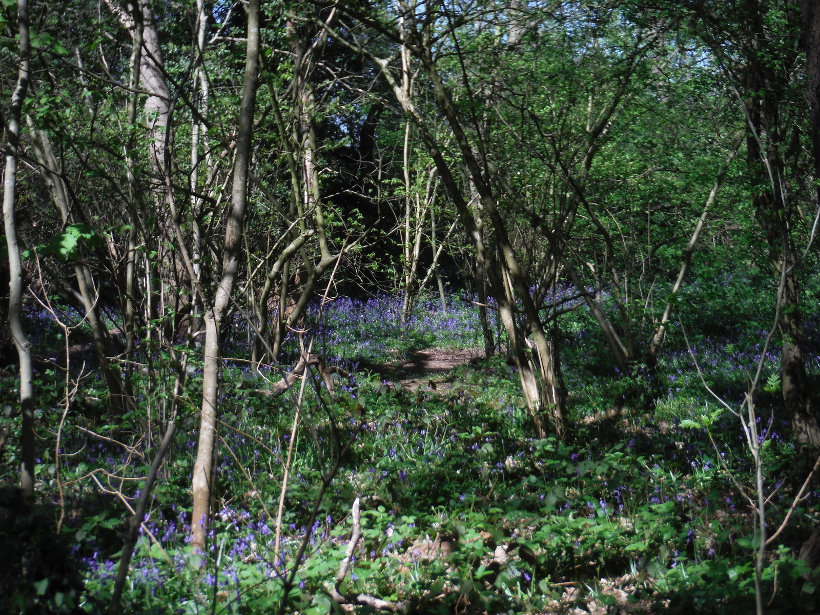 Bluebells in Shepherdleas Wood SWC Short Walk 44 - Oxleas Wood and Shooters Hill (Falconwood Circular)