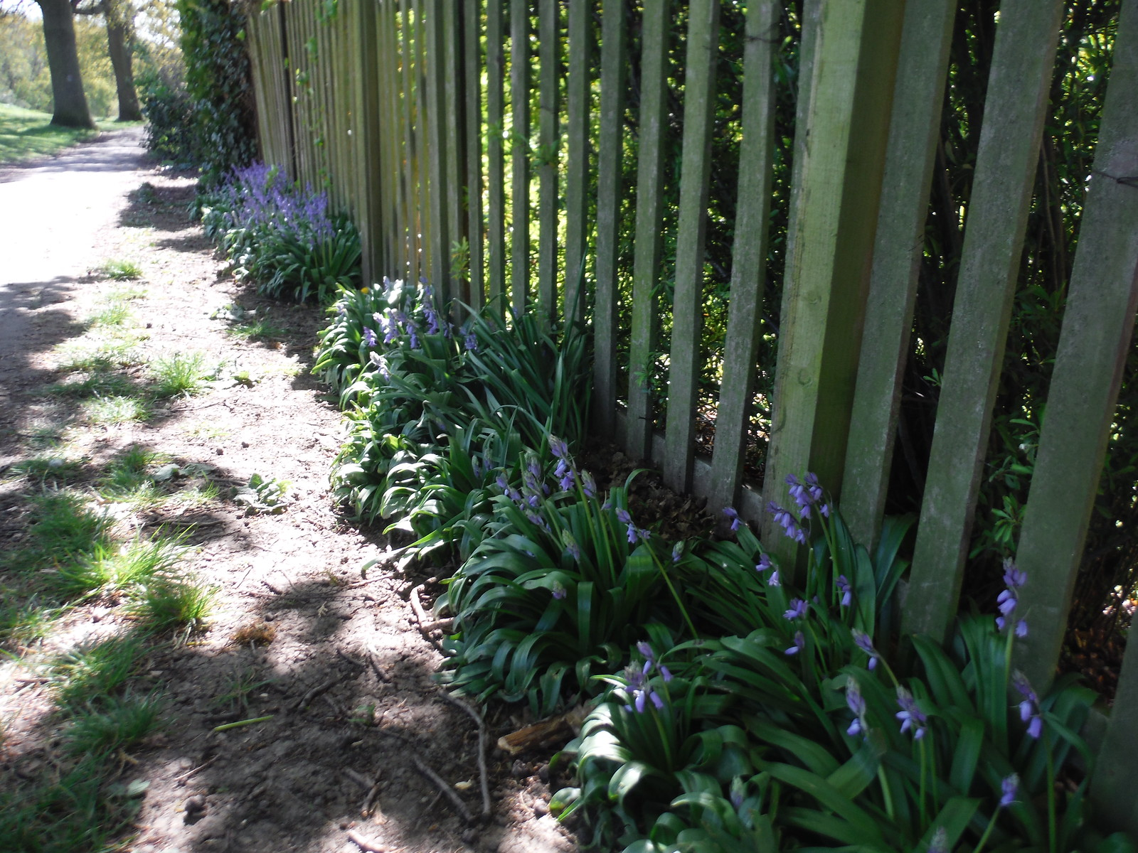 Bluebells along Garden Fence, Oxleas Meadows SWC Short Walk 44 - Oxleas Wood and Shooters Hill (Falconwood Circular)