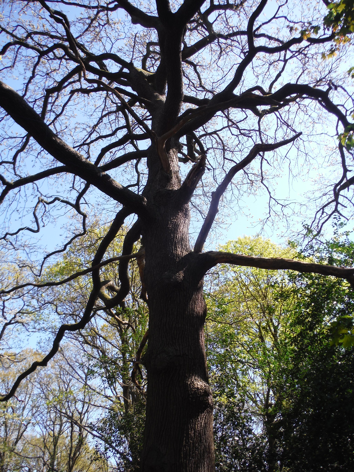 Tree in Jack Wood SWC Short Walk 44 - Oxleas Wood and Shooters Hill (Falconwood Circular)