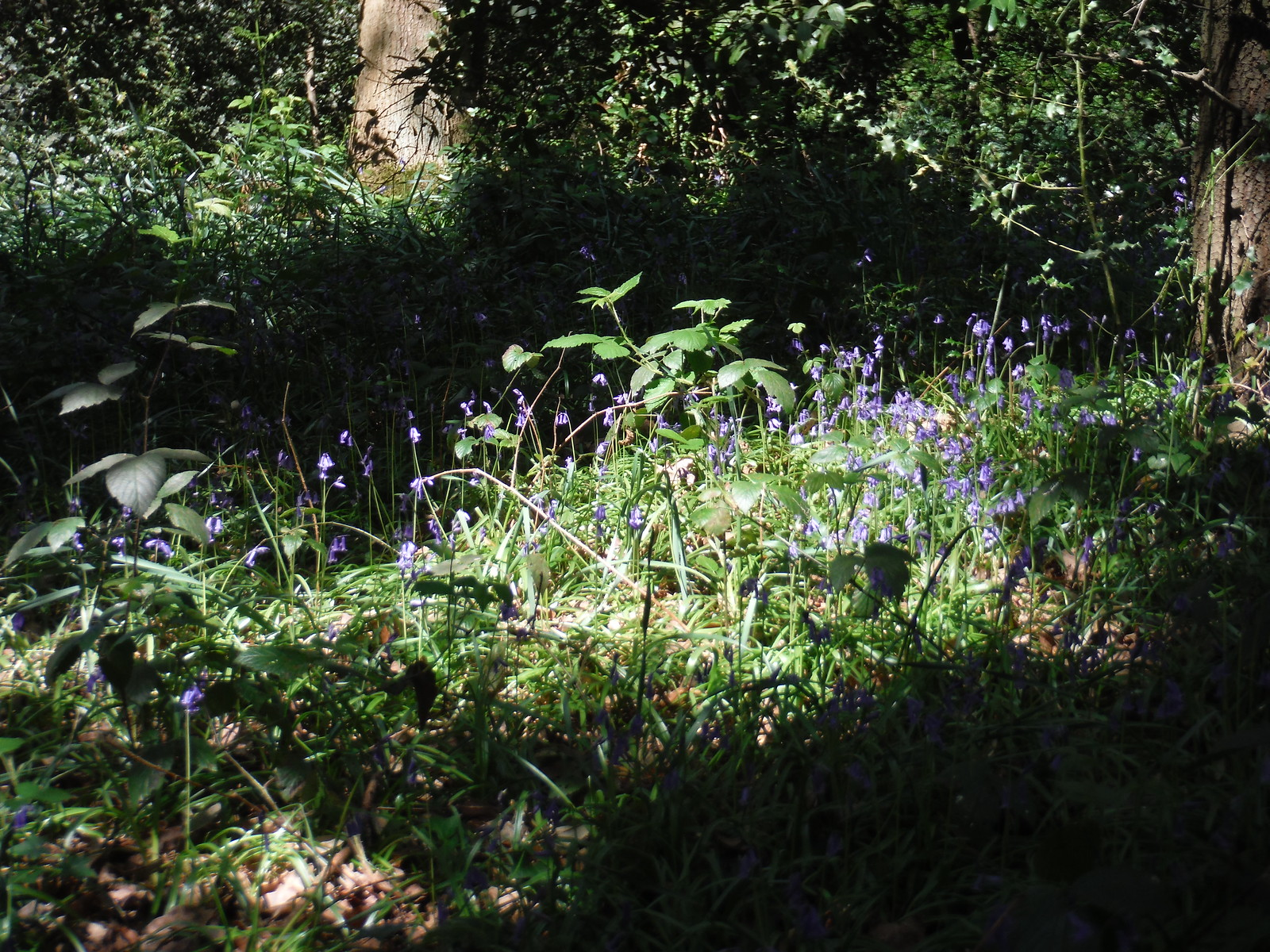 Bluebells in Jack Wood SWC Short Walk 44 - Oxleas Wood and Shooters Hill (Falconwood Circular)