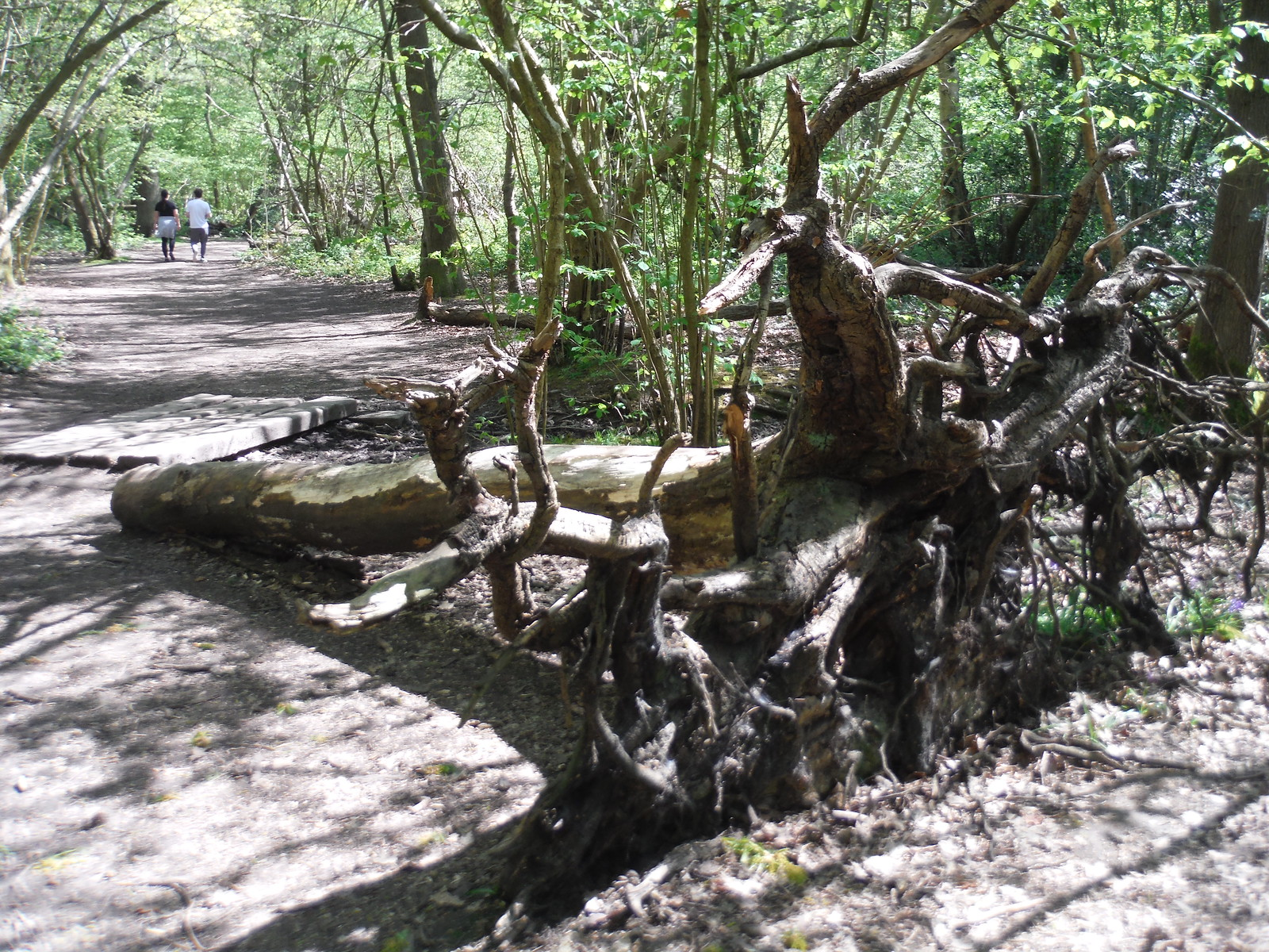 Toppled Tree in Oxleas Wood SWC Short Walk 44 - Oxleas Wood and Shooters Hill (Falconwood Circular)