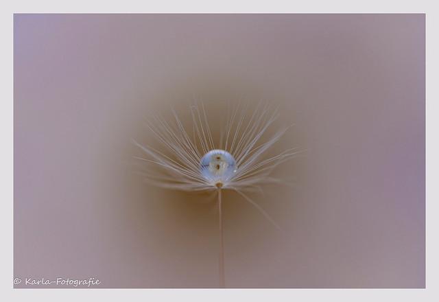 Dandelion fluff /Paardenbloempluis...On Explore