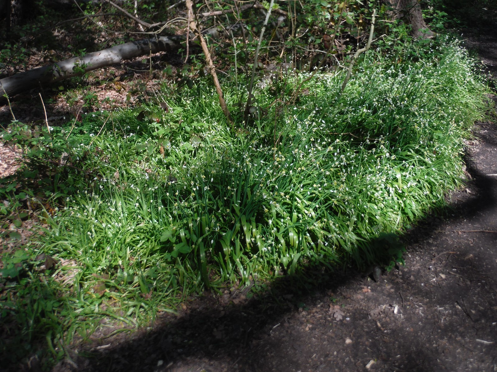 Wild Garlic in Shepherdleas Wood SWC Short Walk 44 - Oxleas Wood and Shooters Hill (Falconwood Circular)