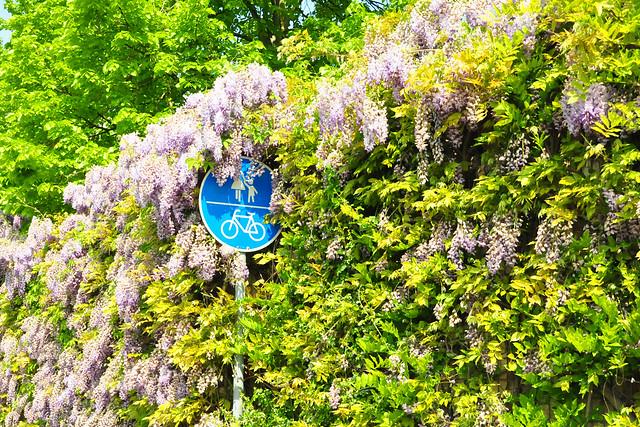 April 2020 ... Umgehungsstraße Mannheim-Seckenheim ... Blauregen / Glyzinien ... Brigitte Stolle