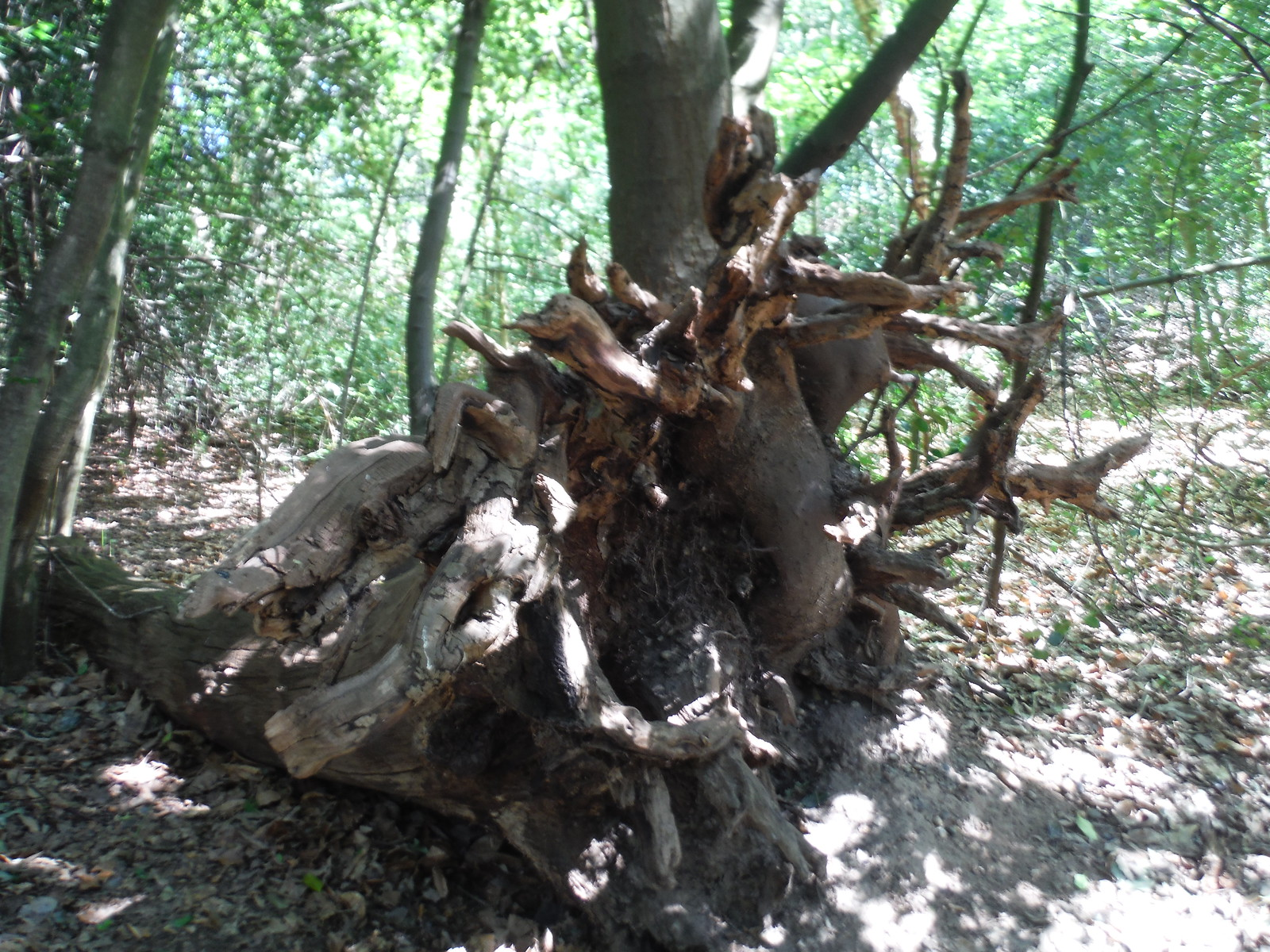 Out of a toppled tree, a new one grows (Castle Wood) SWC Short Walk 44 - Oxleas Wood and Shooters Hill (Falconwood Circular)