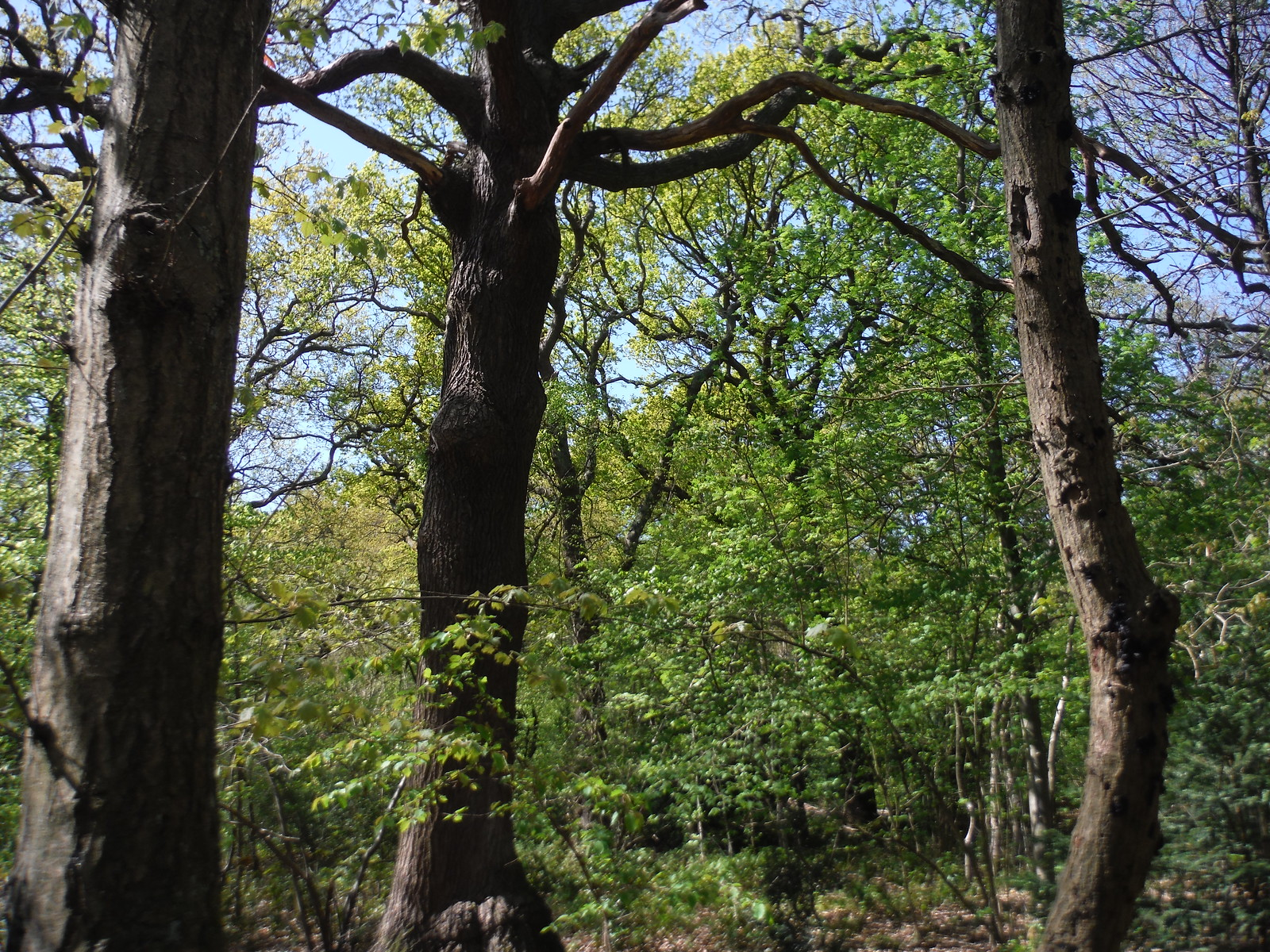 Trees in Oxleas Wood SWC Short Walk 44 - Oxleas Wood and Shooters Hill (Falconwood Circular)
