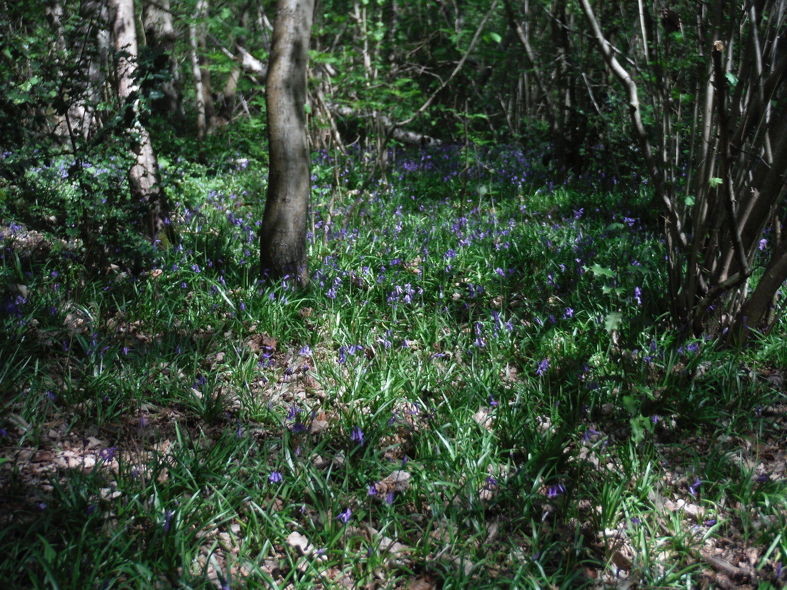 Bluebells in Oxleas Wood SWC Short Walk 44 - Oxleas Wood and Shooters Hill (Falconwood Circular)