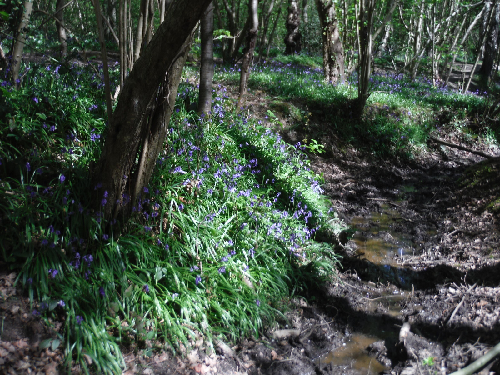 Bluebells along Stream in Oxleas Wood SWC Short Walk 44 - Oxleas Wood and Shooters Hill (Falconwood Circular)