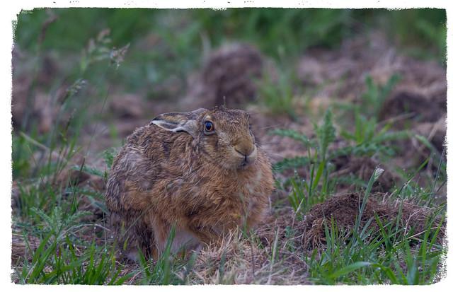 Brown Hare - (Lepus europaeus) Explored