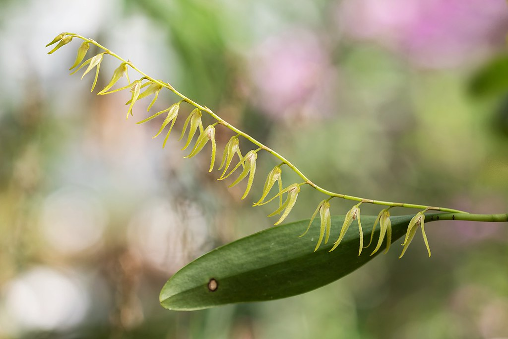 Anathallis sclerophylla 7268-1; Orchidaceae (2)
