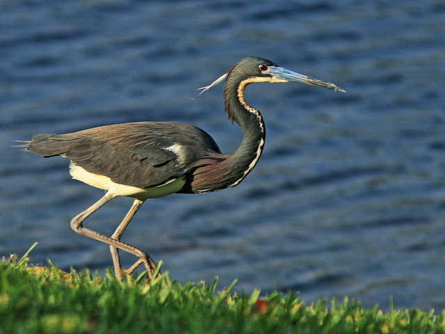 Tricolored Heron running  09-20200419