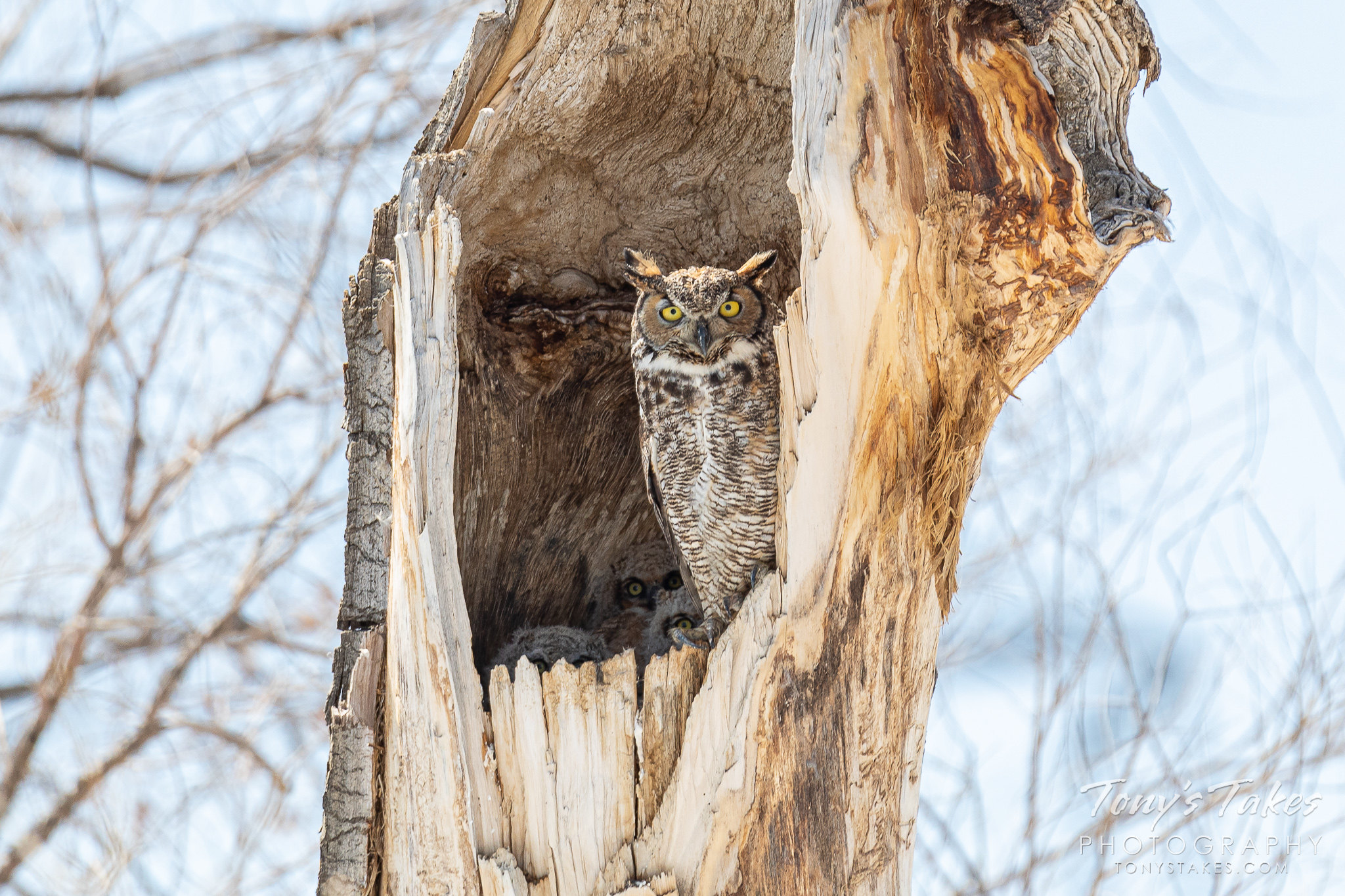 A great horned owl and her three owlets peer out from their nest. (© Tony's Takes)
