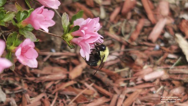 Azalea and the Bumblebee