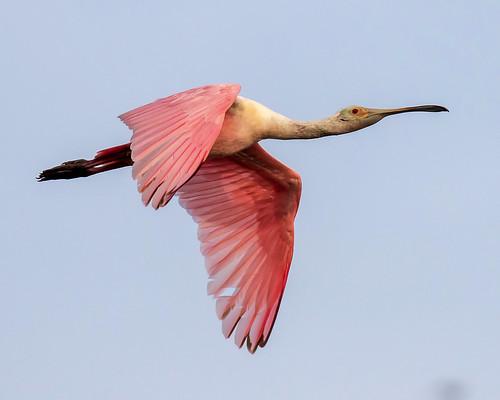 outdoor dennis adair nature wildlife 7dm2 7d ii ef100400mm ocean canon florida bird bif flight