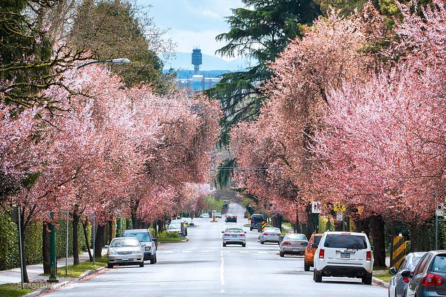 🌸🌸 Blenheim Blossoms 🌸🌸Vancouver, BC