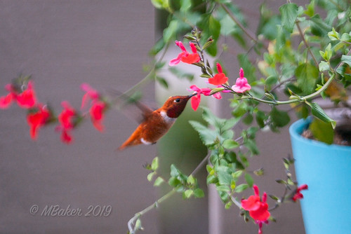RufousHummingbird-1 | by noodlemaz