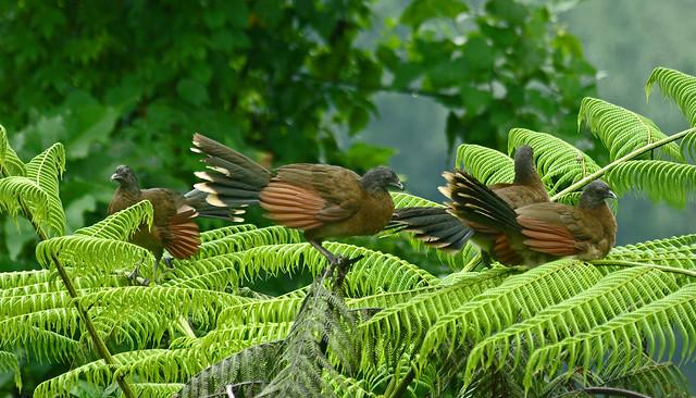 Gray-headed Chachalacas (Ortalis cinereiceps).  Rancho Naturalista.  Costa Rica.