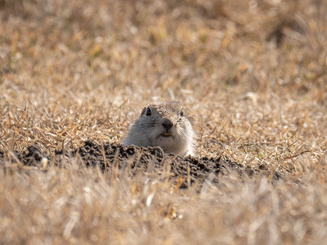 gopher (Richardson's Ground Squirrel)