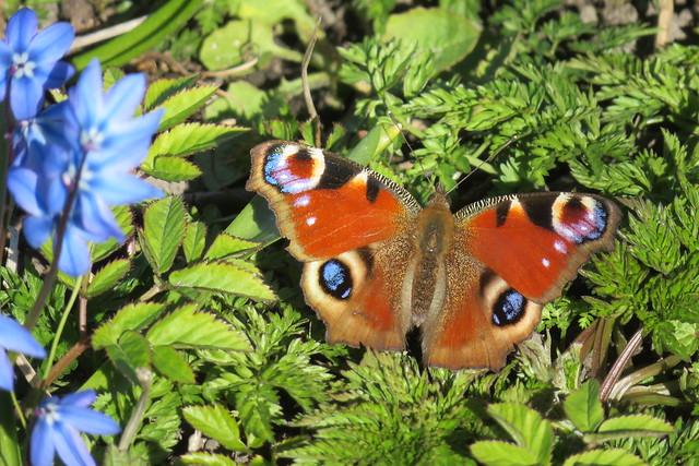 Päevapaabusilm / Aglais io / European peacock / Peacock butterfly