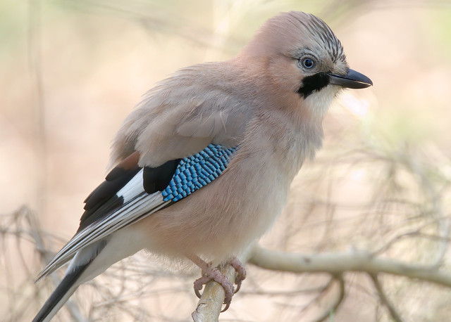 a Jay in backlight : close up (3K zoom in)