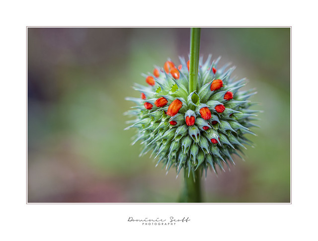 Corona Flower ... ? (Leonotis Nepetifolia) Explored