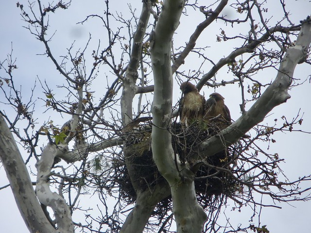 hawk parents bring a mouse