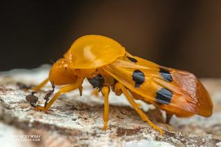 Froghopper (pistharsostethus cf. globosicollis) - DSC_2165
