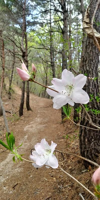 진달래 지고 철쭉꽃 핀, 진분홍에서 연분홍으로 봄의 색깔이 옅어진, 견훤산성 산행산책길