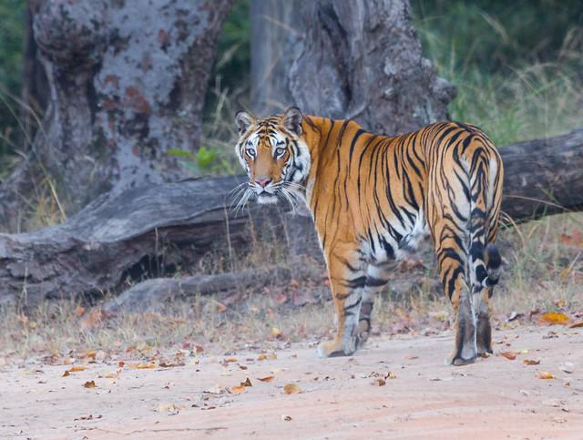 Royal Bengal Tiger (Solo) 525