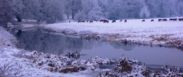 Cold for Cows