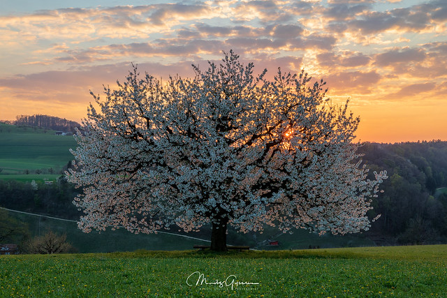 The cherry tree at sunset