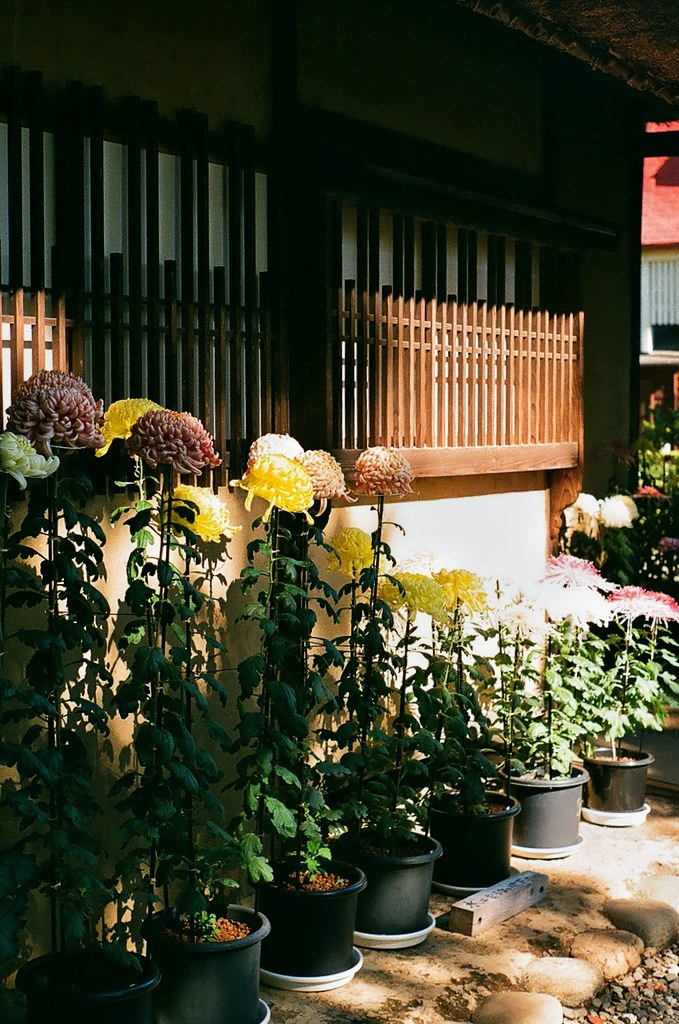 Edo flowers 35mm  Tatemono-en (Edo-Tokyo Open Air Museum)