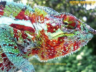 Panther chameleon (Furcifer pardalis) - FB_IMG_1585895630067