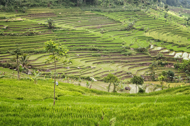 Beautiful terraced rice fields near Magelang - Java Island - Indonesia