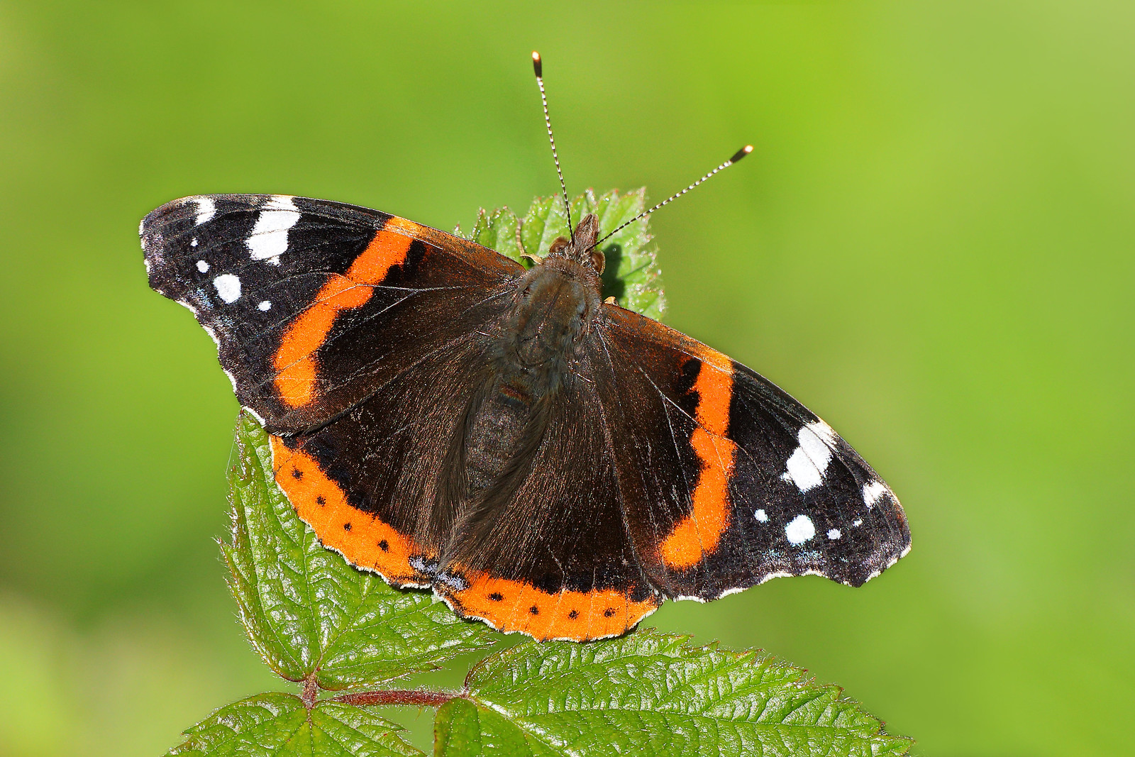 Red Admiral, Stanmer Park
