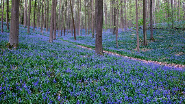 Blue hour in the forest of wild hyacinths