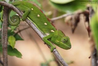 Malagasy giant chameleon (Furcifer oustaleti) - 20190811130448_IMG_3306-01