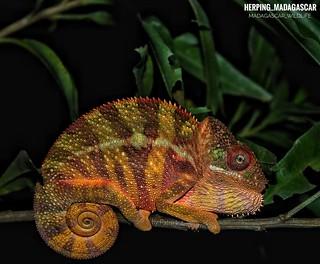 Panther chameleon (Furcifer pardalis) - FB_IMG_1584873677208