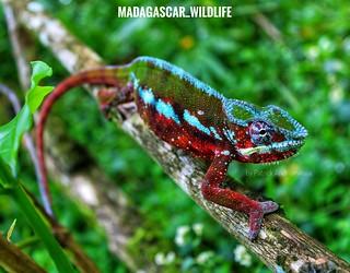 Panther chameleon (Furcifer pardalis) - 20190421094103_IMG_7861-01