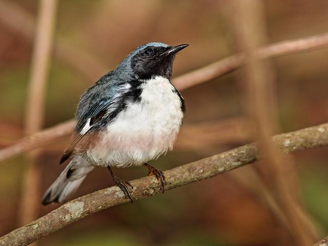 Black-throated Blue Warbler 01-20200421