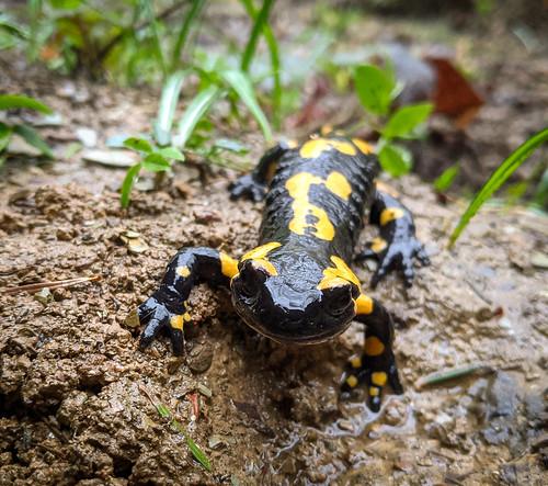 salamander hadžići sarajevo bosniaandherzegovina 2020