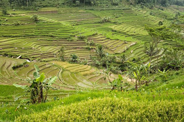 Javanese rice terraces near Magelang - Indonesia