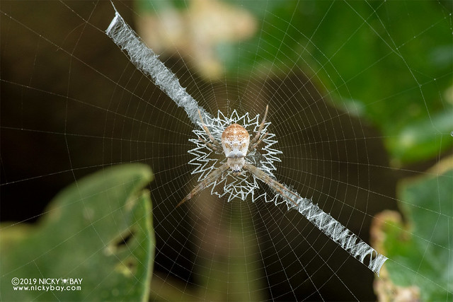Cross spider (Argiope sp.) - DSC_5766
